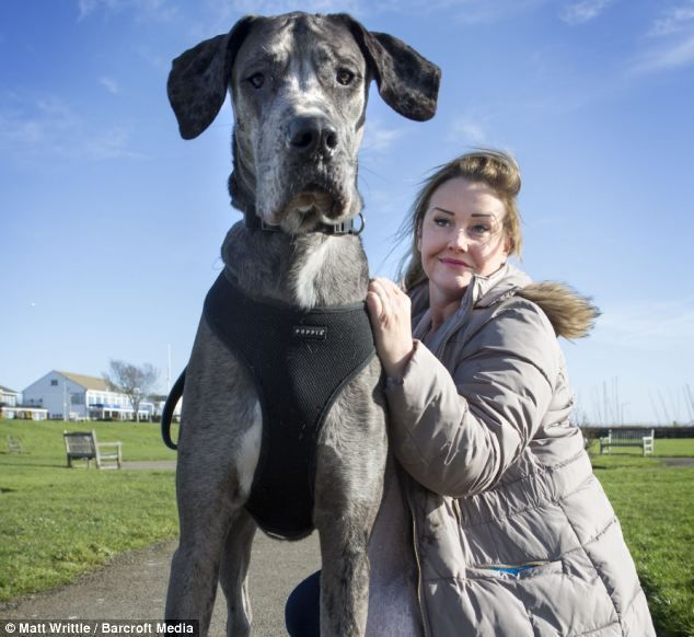 Meet the Great Dane Who's So Big He Has to be Walked at Night So He Doesn't Scare Other Dogs! - Mommy Has A Potty Mouth