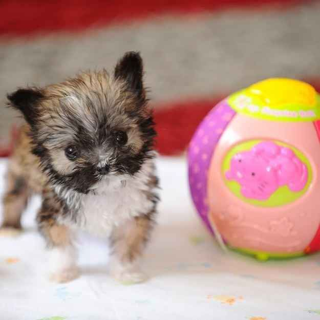 This is Tyson.   Britain's Tiniest Dog Is Smaller Than A Grapefruit