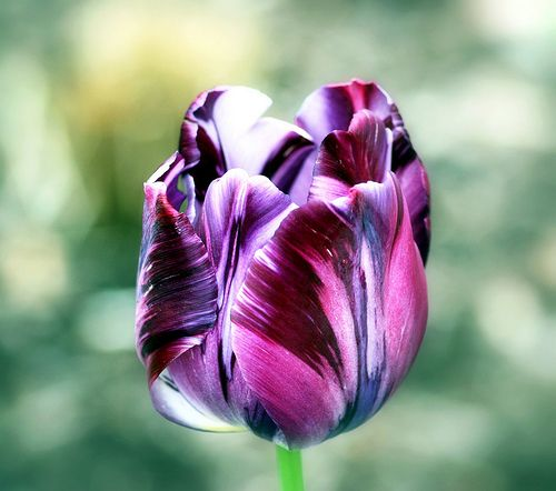 Purple parrot tulips - I want to order these bulbs