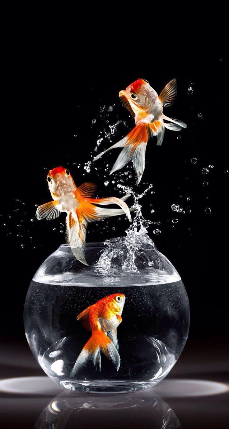 black goldfish wallpaper