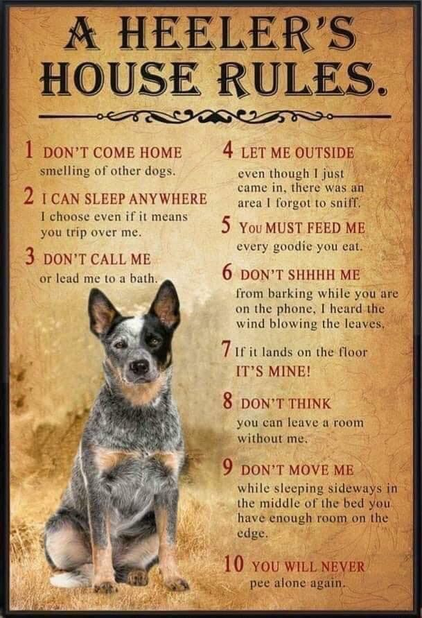 Pin By Judy Wight On My Life Australian Cattle Dog Blue Heeler