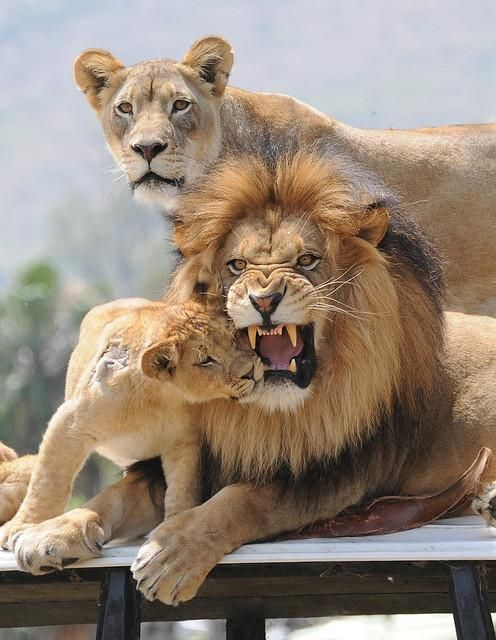 Lion Family - But not so sure that male is happy about the cub's curiosity!