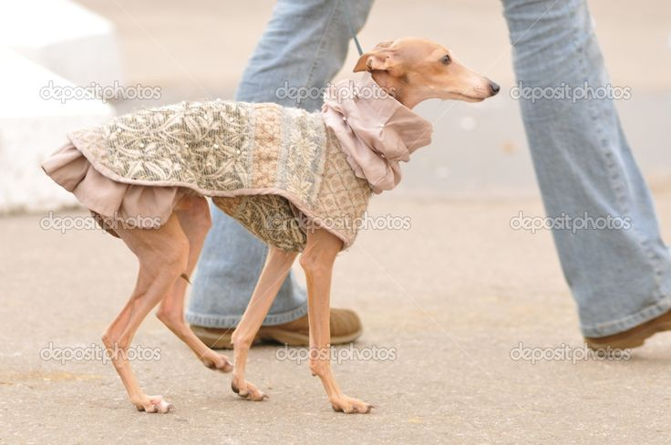 Uma needs one of these! I'll have to whip this up for my whippet princess! Italian Greyhound in a dress