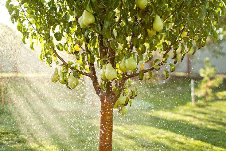 Секрет раннего плодоношения груши