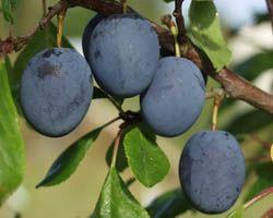 Prunus domesticaSinikka blåplommon