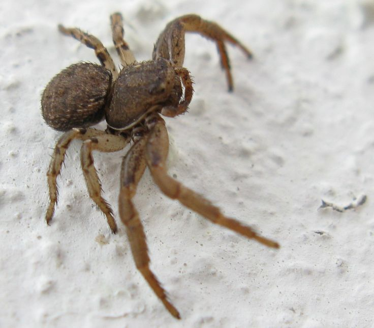 Some crab spiders are adapted to be ground dwellers.