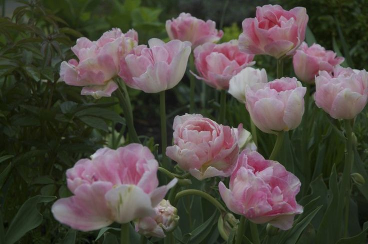 Tulip 'Angelique'-- Like a bowl of Strawberry ice cream