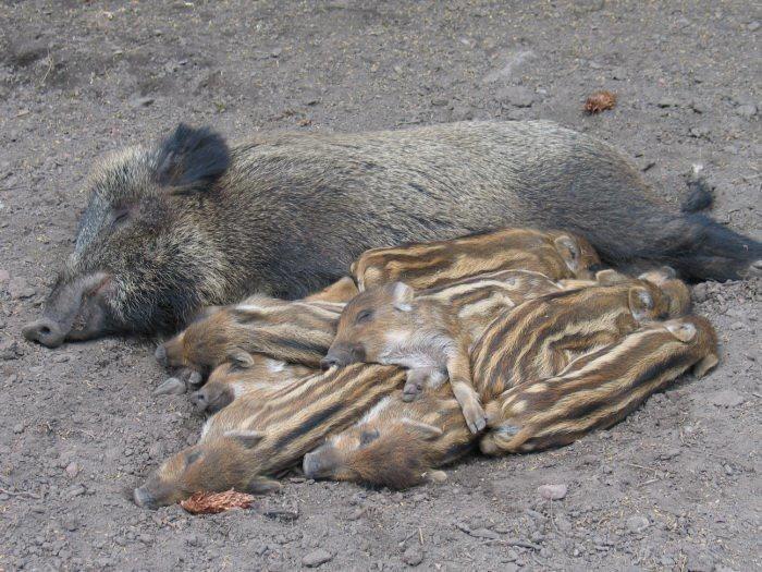 Lovely Sleeping boar family