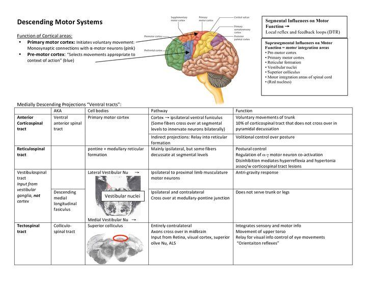 upper motor neuron vs lower motor neuron Google Search