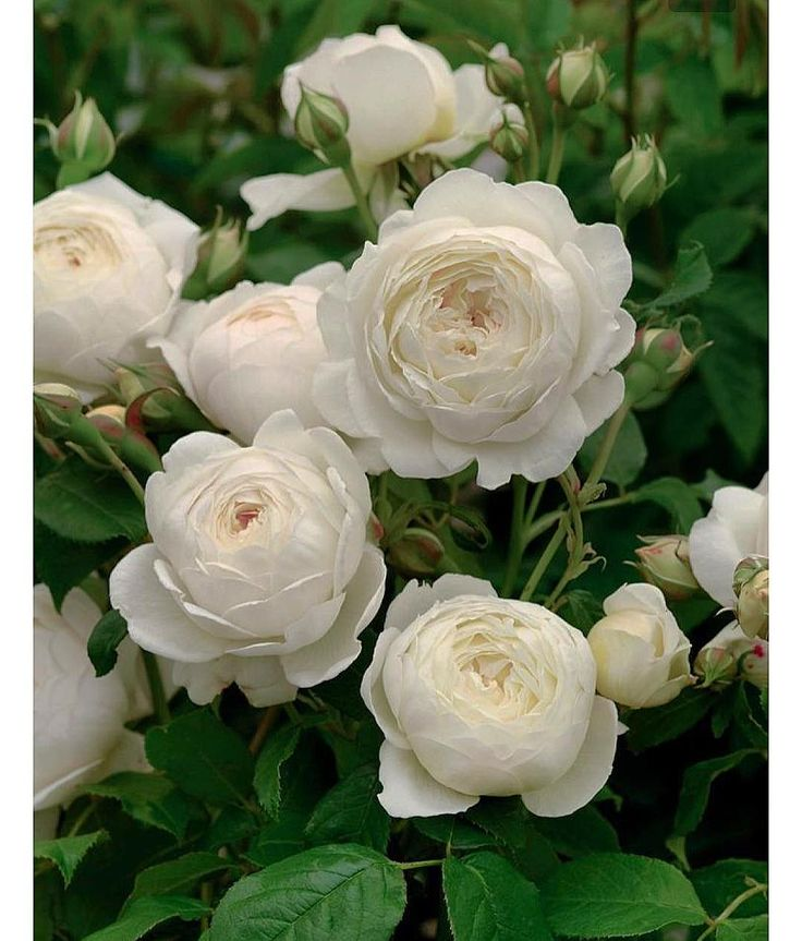 One of the loveliest perfumed roses is 'Claire Austin'...This exquisite rose, bred by David Austin has a strong myrrh fragrance, with hints of vanilla, heliotrope and meadowssweet. This rose bears pale lemon buds that unfurl to cream. This rose is vigorous and particularly healthy with elegant arching growth.