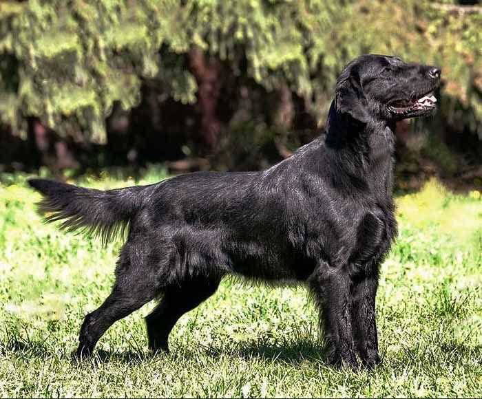Порода собак прямошёрстый ретривер, он же флэт –описание породы, происхождение, темперамент собаки. Фото собак породы прямошерстный ретривер