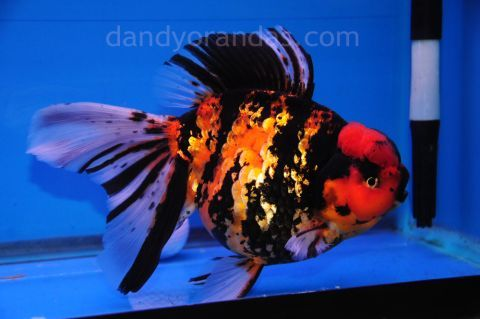 900 Tigar Goldfish Dream Home If You Have A Garden And