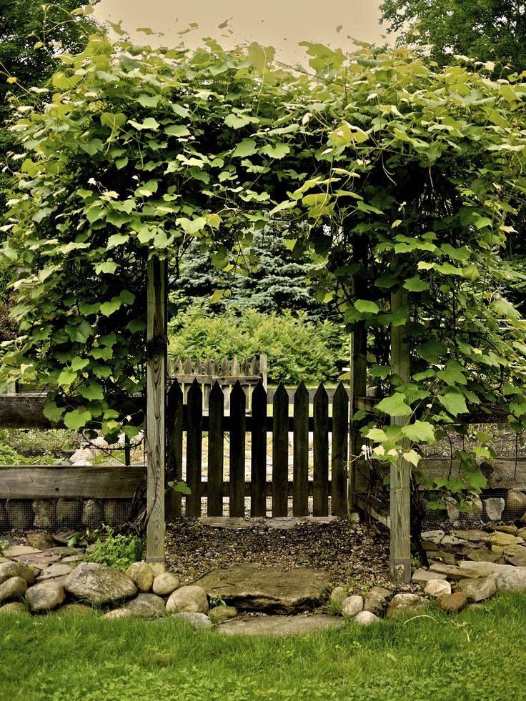 Made this gate and arbor 12 years ago. great for growing concord grapes