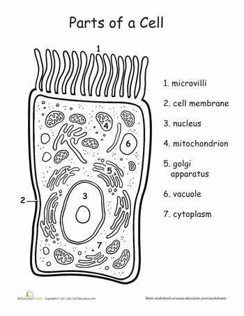 25  best ideas about human cell diagram on pinterest