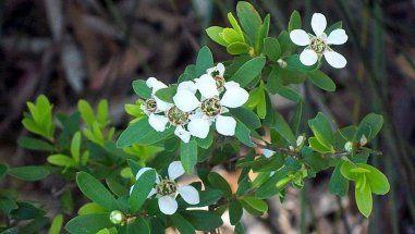 Huile essentielle de Tea tree bio, Chémotypée, arbre à thé (Melaleuca alternifolia), 100% Pure et Naturelle - AGAYON - Huile essentielle majeure au très large champs d'application: Digestif, circulatoire, cutanée, ORL, cosmétique.