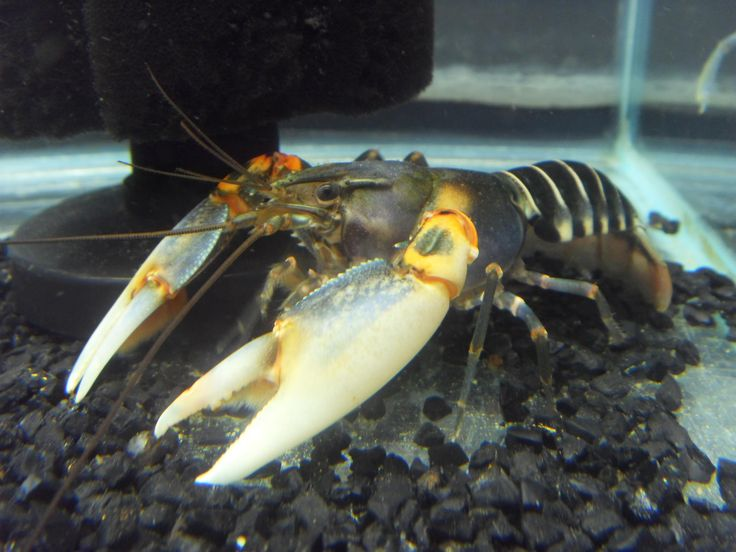 Awesome Zebra or Tiger Crayfish, appears to be cherax ...