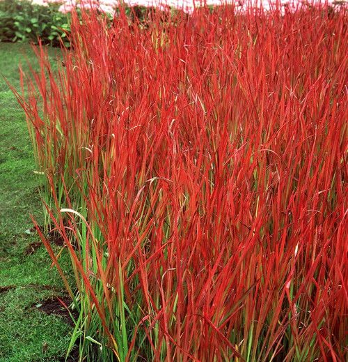 """ORNAMENTAL GRASSES: Grasses provide structure and texture to your garden, offering many shapes, heights and colors. Most will """"bloom' with attractive seed fronds that move with the breeze. Commonly kn"""