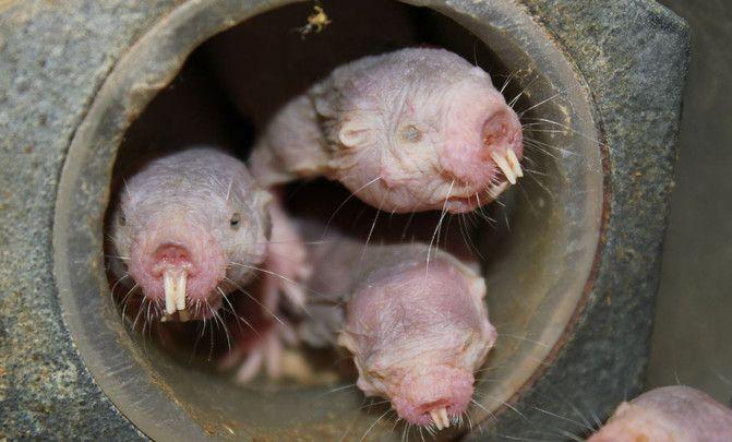 Cómo sobrevive el ratopín varios minutos sin oxígeno