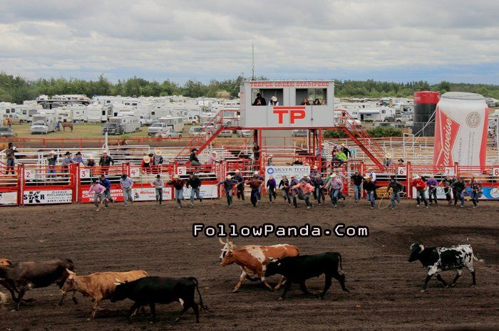 Wild Cow Milking at Teepee Creek Stampede Rodeo Event - County of Grande Prairie, Alberta, Canada | FollowPanda.Com
