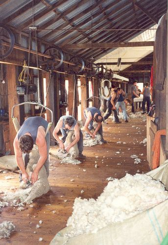 Sheep shearing, Australia.  Photo: Miekie D, via Flickr.  I need this back support thing for sheering season!