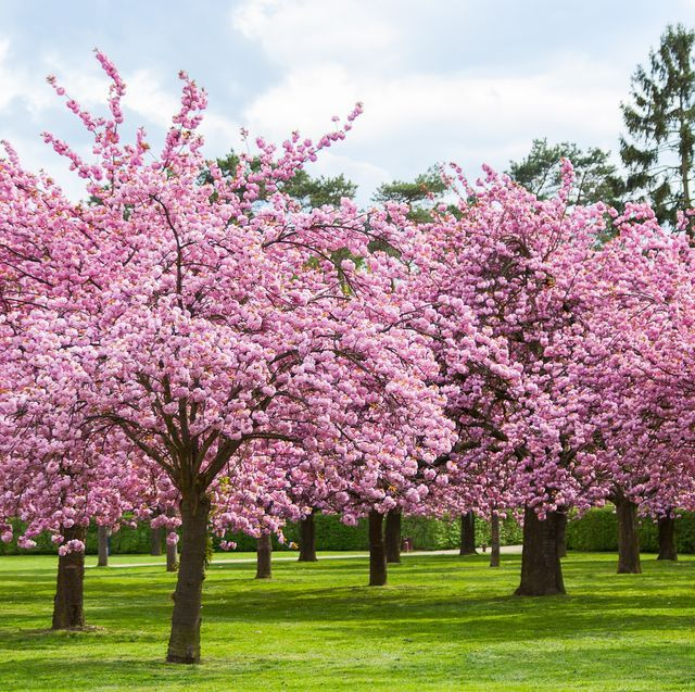 It S Macon Georgia Which Is Home To Over 350 000 Yoshino Cherry Blossom Trees Pink Blossom Tree Cherry Blossom Tree Blossom Garden