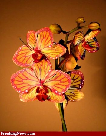 how to look after a butterfly orchid