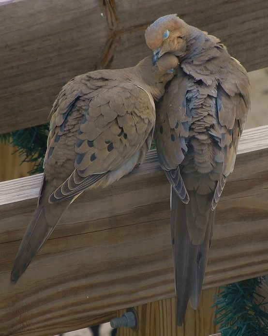 Mourning doves-they mate for life! I love to hear their coo in the morning.
