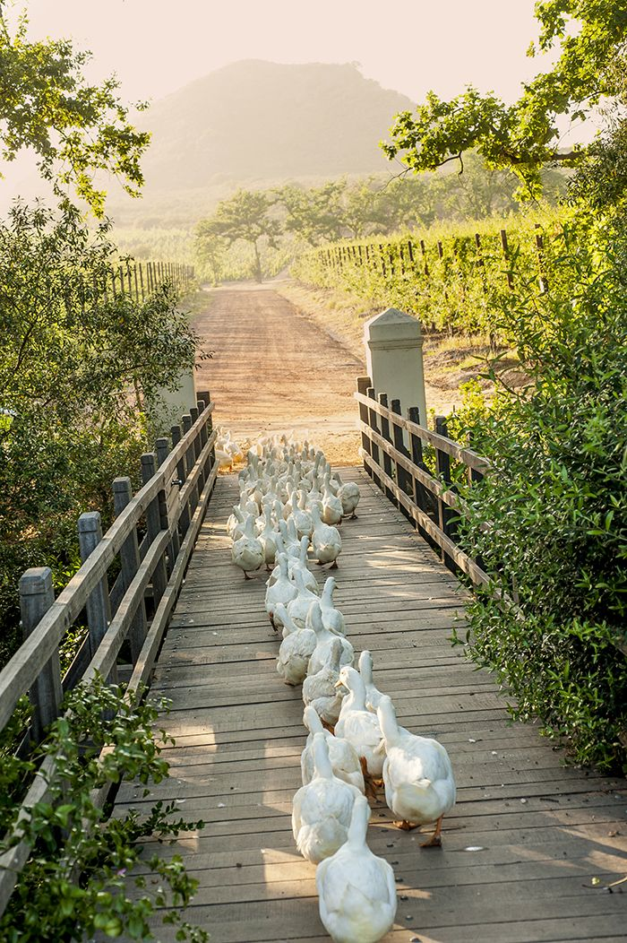 Country life on the farm. Ducks crossing a footbridge. Orderly and so cute!