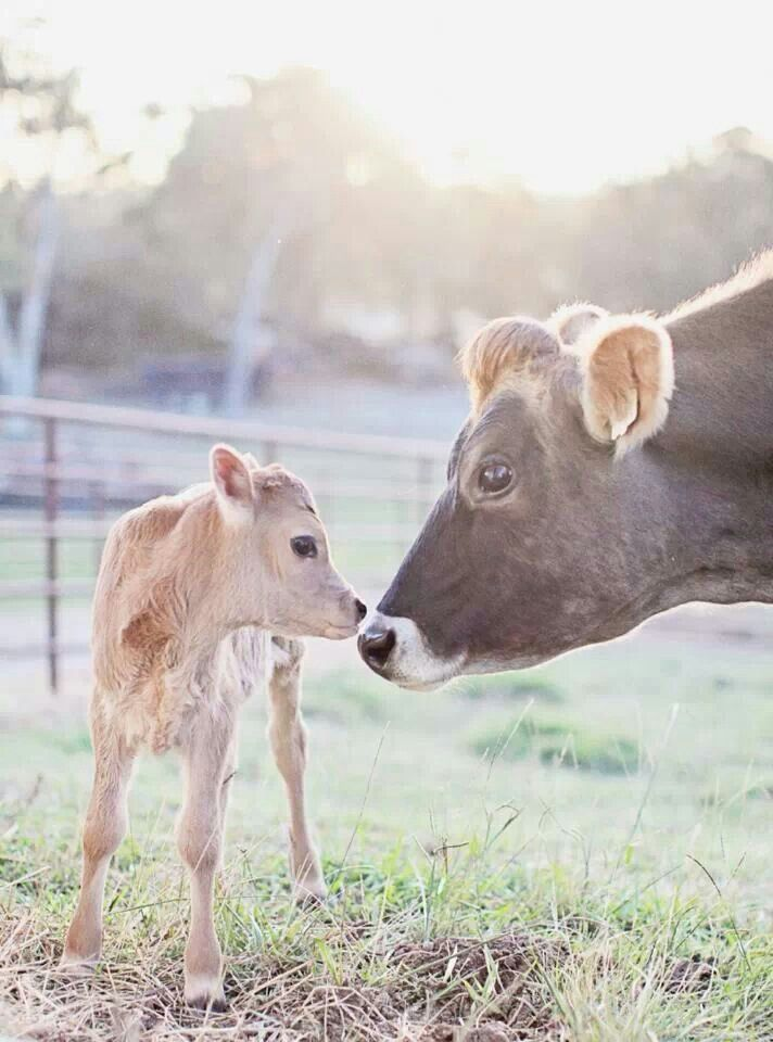 Jersey cow and sweet calf.