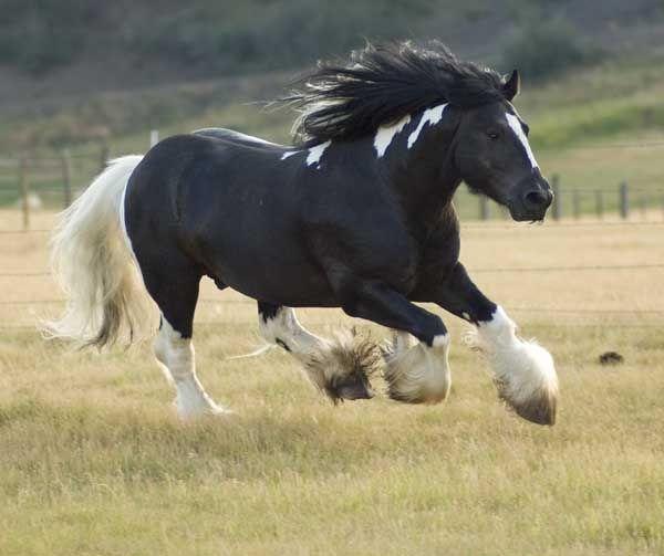 The hustler gypsy stallion