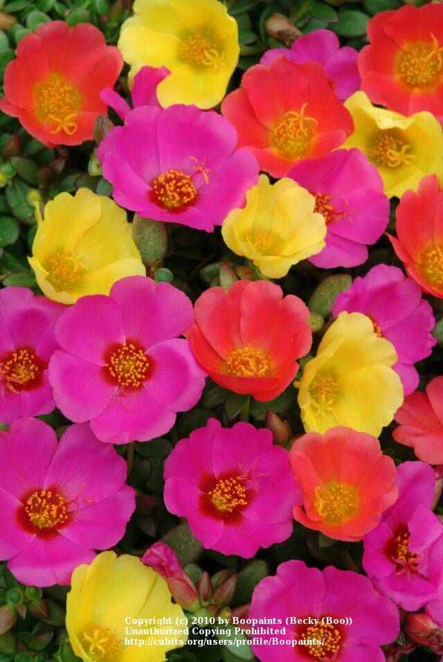 Purslane - Very heat tolerant. Get baskets for the front porch in full sun every year. So many beautiful blooms!