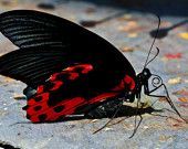 "Featured in the Etsy Treasury 'Sneaky Treasury Challenge Aug. 21, 2014' by MadeByHand  Fine Art 5""x7"" Macro Butterfly Photograph ""Red Wings"" featuring black and red winged butterfly on stone path for modern decor"