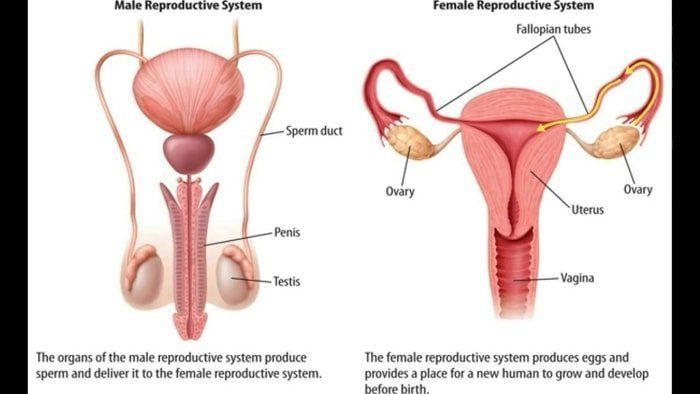 Dog Reproductive System