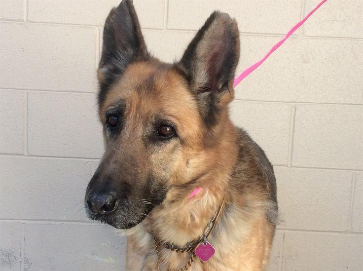 German Shepherd Dog dog for Adoption in pomona, CA. ADN-453919 on PuppyFinder.com Gender: Female. Age: