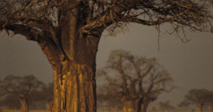 Quais tipos de roedores vivem na savana africana?. A savana africana abriga milhares de espécies animais diferentes. A savana está localizada entre as florestas tropicais e os desertos da África. Este tipo de vegetação tem verões quentes e úmidos, e invernos frios e secos. Há diversas espécies de ratos e camundongos vivendo na savana africana.