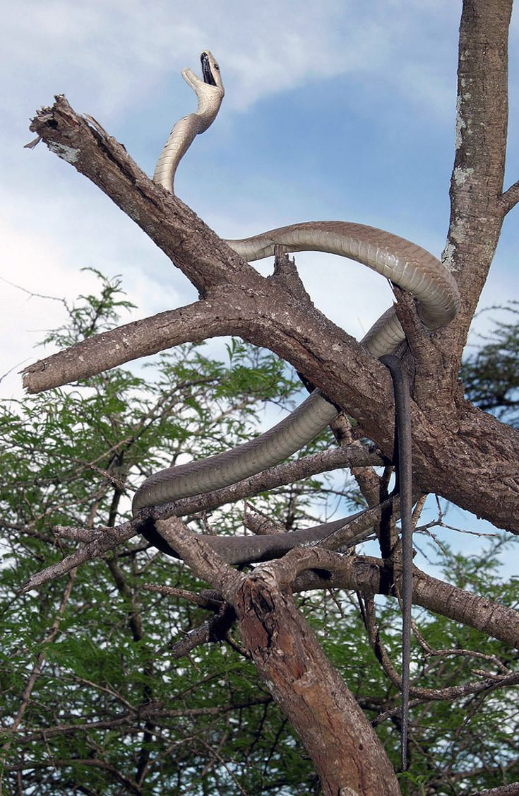 Africa | Black Mamba (Dendroaspis polylepis) Swaziland. | © cowyeow, via flickr