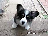 "Phoenix dog training!!! ""K9katelynn"" corgi puppy!!! See more about gilbert dog training at k9katelynn.com Sweetest Corgi Puppy EVER Attempts to Climb Stairs - He'll Steal Your Heart :)"