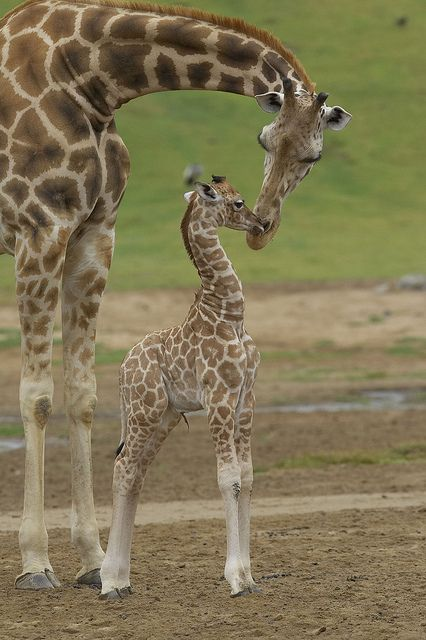 funnywildlife:  Kiss for mom by San Diego Zoo Global on Flickr.