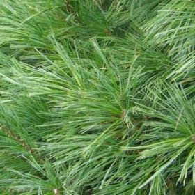 White Pine – Sheridan Nurseries