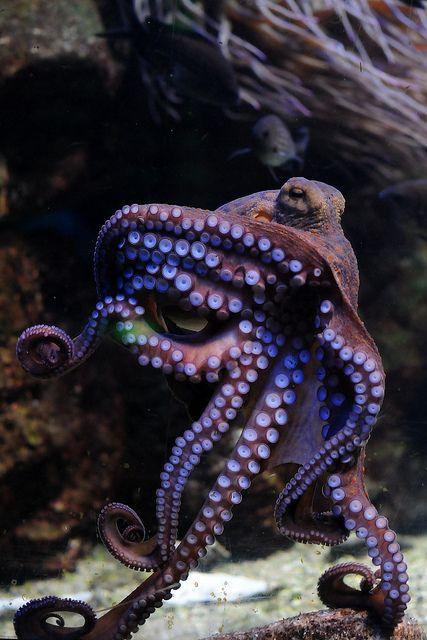 octopus vulgaris | Flickr - Photo Sharing!