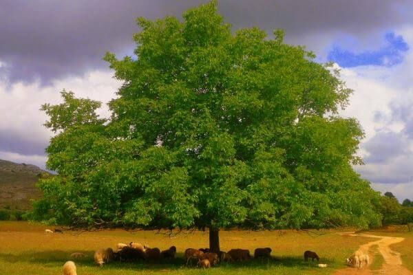 Nogal (Juglans regia) Fruto, Cultivo y Características ✓   Arboles para jardin, Arbol de nogal, Bosque comestible