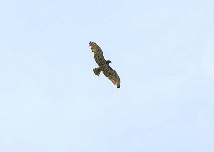 Il Biancone, l'Aquila dei serpenti - Monti del Matese