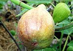 Welcome to Adriano's World of Fig Varieties