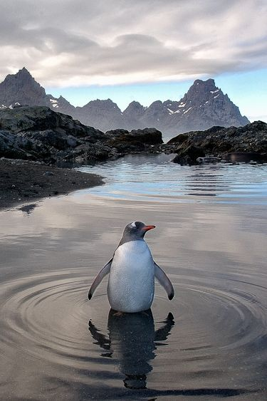 Gentoo in Pool by Fanus Weldhagen. ☀