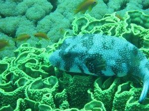 pufferfish near Aqaba