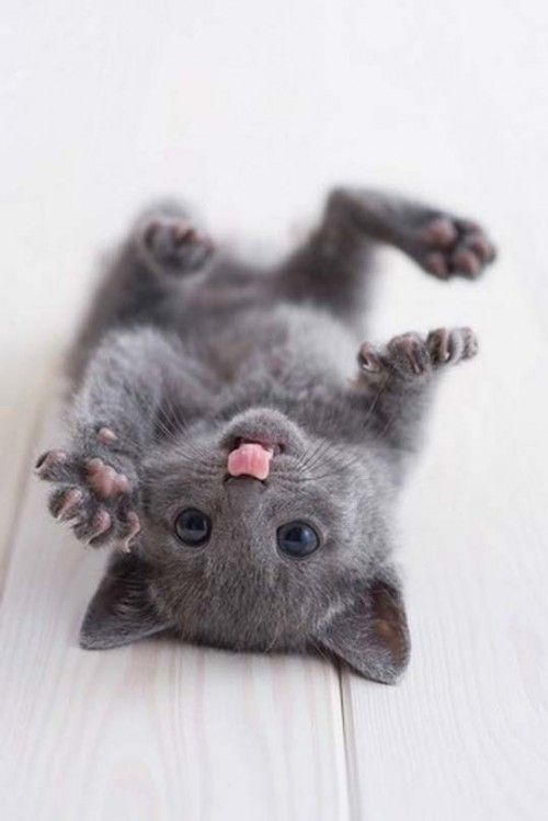 Russian Blue Kitten Frolicking!