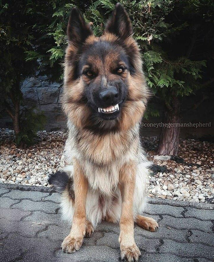 Gsd Coney Show Me The Fangus With Images German Shepherd