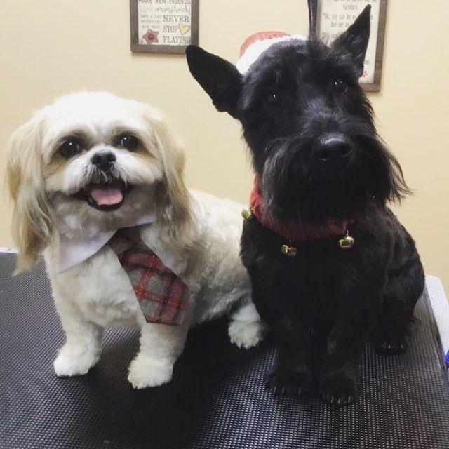 Teddy The Shihtzu And Arthur The Scottishterrier Pets