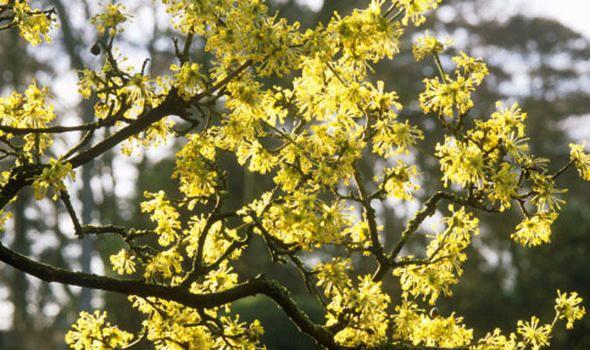 Cornus mas, cornelian cherry. Member of the dogwood family