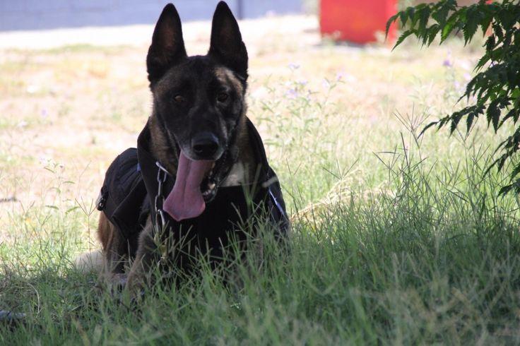 <p>*Uno de los canes adquiridos de la raza pastor holandés, fue certificado por la policía del estado de Wyoming en rastreo de narcóticos</p>  <p>*Es